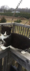 Barn kittens and cats Stratford Kitchener Area image 1