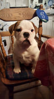 English Bull Dog Puppy For Sale
