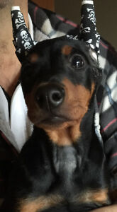 German Pinscher female