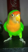 Beautiful lovebird for sale