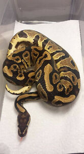 Ball Pythons and Leopard Geckos for sale