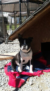 Boston Terrier for SALE = Price NOT negotiable