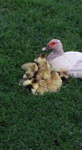 Muscovy Ducks for Sale