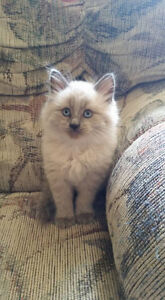 Unregistered Ragdoll Kittens for sale