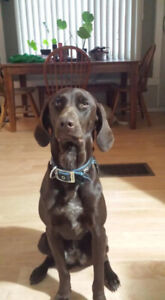 German shorthaired pointer x Chocolate labrador