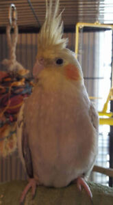 REDUCED - 2 year old female cockatiel for sale