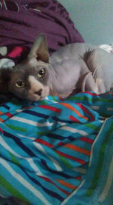 Male Sphynx looking for a new home