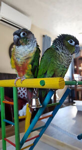 Conure Parrot (x2) For a good home