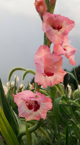 Gladiolus --- pick your own.