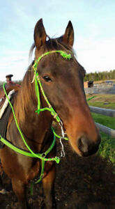 14 year old gelding for on property lease