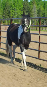 Blk and White Paint Mare