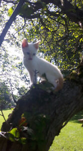 Chattons F4A Savannah Snow male vacciner complete et operer!