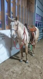 Palomino 3yr 14.1H Reg'd AQHA gelding. Ranch bred. Great minded.