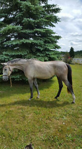 Registered and branded trakehner filly by Asher