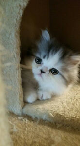 Pure-bred Chinchilla Persian kittens
