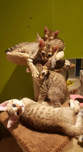 vaccinated & dewormed pure bred bengal kittens