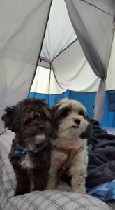 Two 6-year old Shihpoos for rehoming