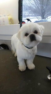 Bichon Frise grooming    specialist West Island Greater Montréal image 2