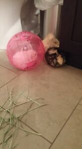 2 Female guinea pigs with everything