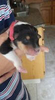 PUPPIES ARE HER!! Pure bred CKC Rough Collie puppies