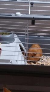 cochon dinde avec cage