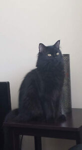 Mr. Kitty - Lost Male Cat - Black Himalayan/Persian Mixed Breed