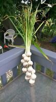 natural grown garlic