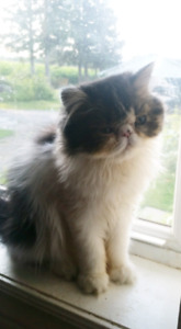 Purebred Exotic Persian Male kitten