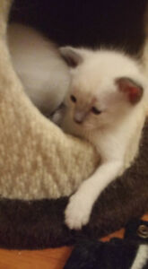 beautiful siamese kittens** only one male left** London Ontario image 3