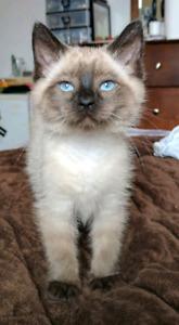 LF Himalayan or Ragdoll Kitten (Female)