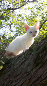 F4A Snow Savannah Spotted male kitten, Fixed & Vaccinated