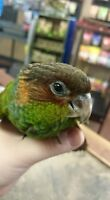 Beautiful Baby Blue Throat Conure * 8 weeks old*