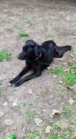 Looking For Male Intact Lab For Breeding