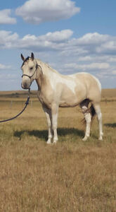 3 Year Old APHA Gelding