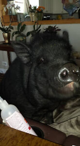 Miss Snort is 2 yr old available for adoption Pot Bell Pig.