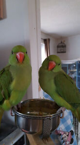 2 Female Baby Indian Ringnecks