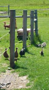 Duck eggs.... NEW Farm Fresh bread Belleville Belleville Area image 1