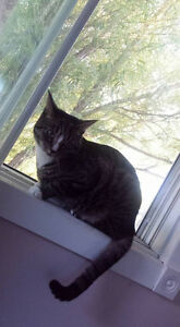 Grey/black tiger striped cat lost in Milford area