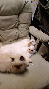Dollface Himalayan Kittens, Family Raised, Vet Checked