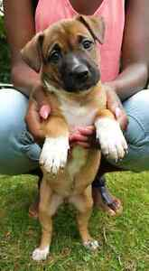Boxer/Shephered mix female puppy looking for a loving home!!!!!!
