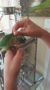 TAMED GREEN CHEEK CONURE, W/ LARGE CAGE & FRIENDLY, ACCESSORIES