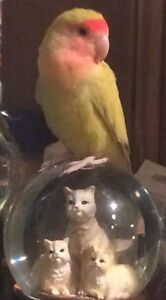 Peachface Lovebird (with cage, etc) looking for forever home!