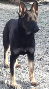 CKC Registered Purebred German Shepherd