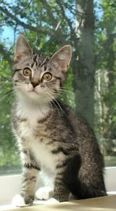 Back to School Tabby mix with Ragdoll KITTENS for SALE!!!