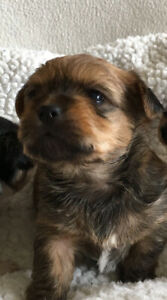 Shorkie puppy (male) for good home