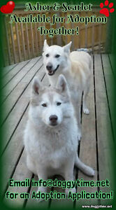 2 Huskies for Adoption through Doggytime Canine Care & Rescue
