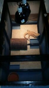Bearded Dragon Leather Back Large Female