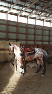 2012 Registered Appaloosa Mare