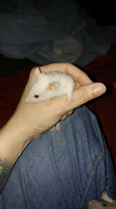 Male Rats-6 weeks old