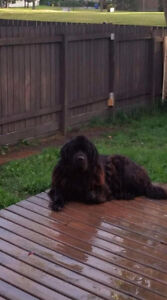 Newfoundland puppies  only 1 male  left!!